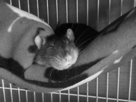 Freckles loves her Darling Rats hammock!